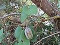 18-04-2017 Birthwort (Aristolochia Baetica), Praia de Arrifes.JPG