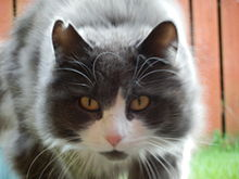 norwegian forest cat wikipedia