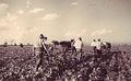 1950 G.A.S. Stupini-Brasov. Cultivarea sfeclei de zahar.JPG