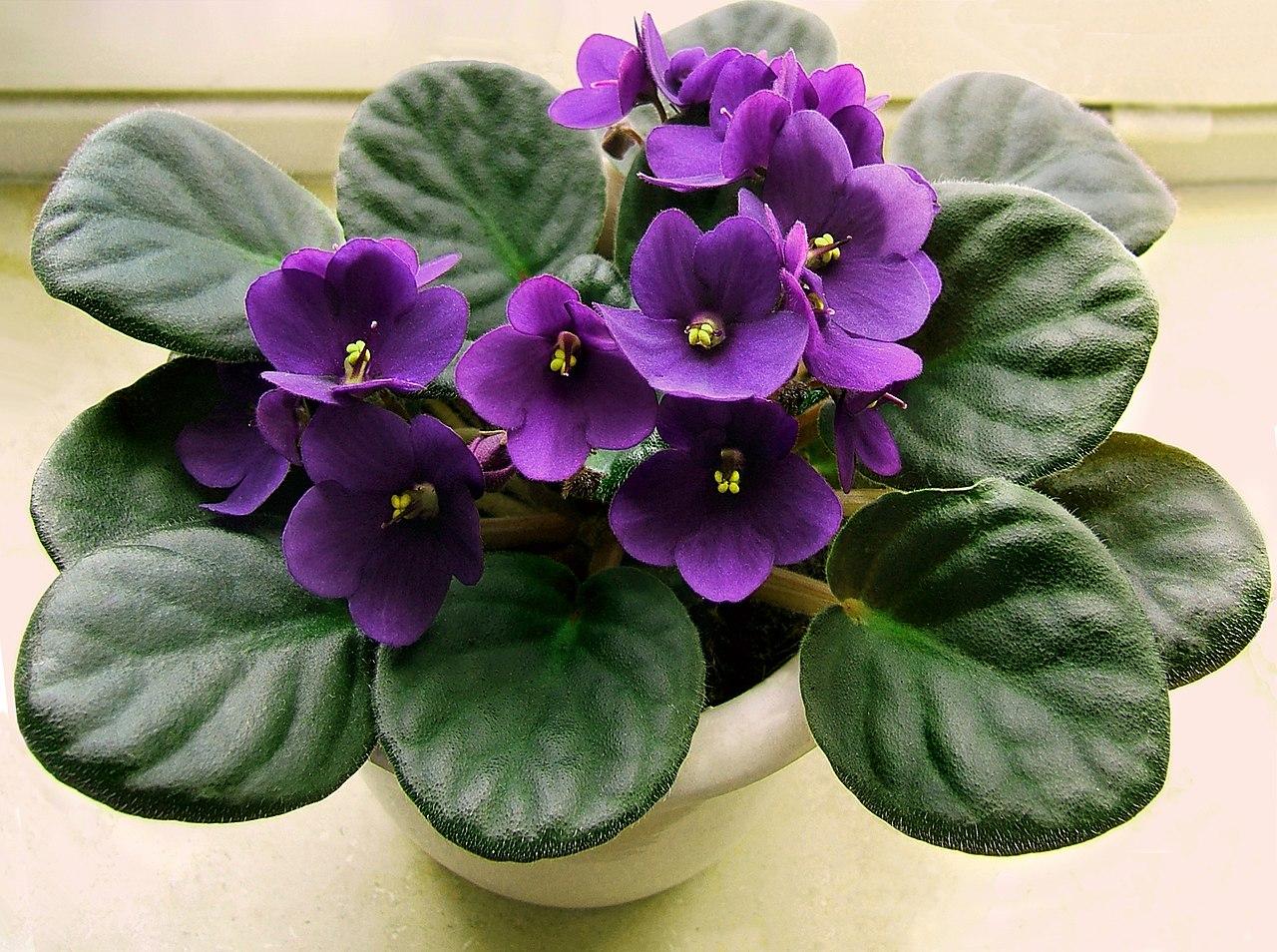 цветы и цветки фиалки узумбарские