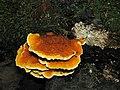 2011-06-30 Pycnoporellus fulgens (Fr.) Donk 155526.jpg
