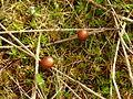 2012-03-21 Deconica montana (Pers.) P.D. Orton 207133.jpg