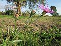 20120920Wiesen-Flockenblume Hockenheim.jpg