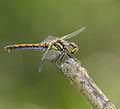 2014.07.17.-17-Zadlitzgraben Pressel--Schwarze Heidelibelle-Weibchen.jpg