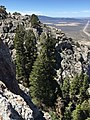2015-04-28 12 38 56 Large White Firs just below cliffs at the highest point in the south wall of Maverick Canyon, Nevada.jpg