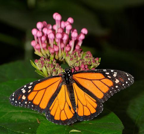 2015-10-24 13-47-56 papillon-hunawihr.jpg