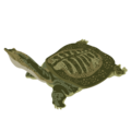 201502 Chinese soft shelled turtle.png