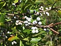 2017-09-04 12 37 41 Northern Bayberry fruit along the sand road leading to Barnegat Inlet within the Southern Natural Area of Island Beach State Park, in Berkeley Township, Ocean County, New Jersey.jpg