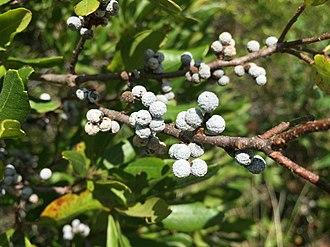 Myrica pensylvanica - Northern bayberry fruit