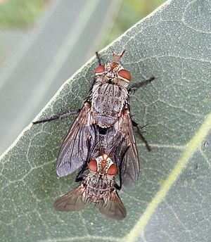 Tachinidae - Tachinid Flies Mating