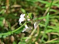 20170819Verbena officinalis2.jpg