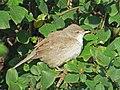 2019-10-16 Barred Warbler, St Mary's Island, Northumberland 3.jpg
