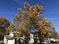 2019-11-14 13 23 07 An American Sycamore in late autumn along Tranquility Court in the Franklin Farm section of Oak Hill, Fairfax County, Virginia.jpg
