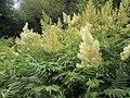20190618Sorbaria sorbifolia5.jpg