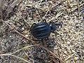 26-06-2017 Darkling beetle (Pimelia costata).JPG