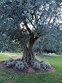 28 древних олив.jpg