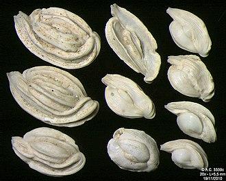 Foraminifera - Image: 3339c Croatie Pag