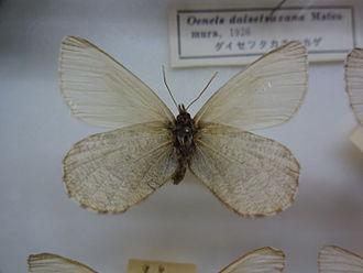 Oeneis melissa - Oeneis melissa daizetsuzana, Japan