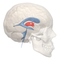 3rd ventricle - 02.png