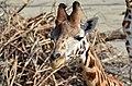 50 Jahre Knie's Kinderzoo Rapperswil - Giraffa camelopardalis 2012-10-03 14-37-07.JPG