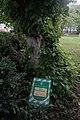 68-104-5062 Липа європейська Кам'янець-Подільський.jpg