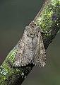 73.158 BF2334 Rustic Shoulder-knot, Apamea sordens (26814603663).jpg