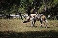 AFRICAN WILD DOG (14003940071).jpg
