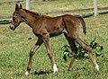 A Cedar Creek beauttiful Foal-1 (20988997486).jpg