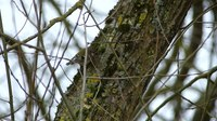 File:A Goldcrest Searching for Insects.webm