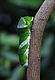 A Larva of Papilio memnon 09sai.jpg