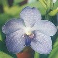 A and B Larsen orchids - Ascocenda Royal Sapphire x V coerulea 811-1x.jpg
