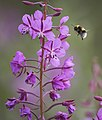 A bee prepares to land on fireweed in Sable Pass in Denali National Park and Preserve on July 21, 2019. (8bb57777-100f-40da-8ed5-50c5ef3a3b82).JPG