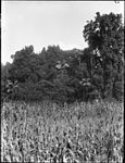 A country scene of a maize or corn field with eucalypts and tall palm trees (3506212521).jpg