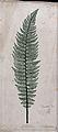 A fern frond, possibly Polystichum aculeatum Wellcome V0043910.jpg