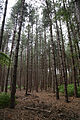 A fir pine plantation at Theydon Mount Essex England 01.JPG