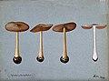 A fungus (Agaricus gloiocephalus); four fruiting bodies. Wat Wellcome V0043320.jpg