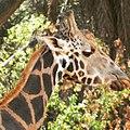 A giraffe at Nehru Zoological Park.jpg