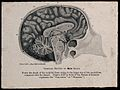 A male brain, sectioned vertically. Photomechanical reproduc Wellcome V0009502EL.jpg