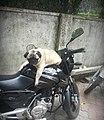 A pug on a bike.jpg
