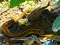 A snake devouring a Frog.jpg