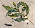 A species of Thottea; branch with flowers and pods and separ Wellcome V0042660.jpg