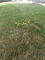 A yellow royal crown in the middle of the ground!.jpg