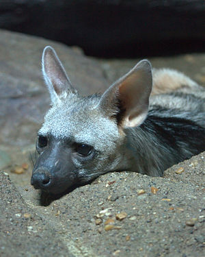 Aardwolf - Detail of head – taken at the Cincinnati Zoo
