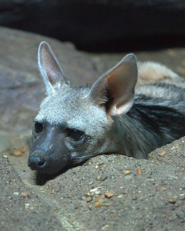 Aardwolf02