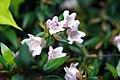 Abelia x grandiflora Edward Goucher 3zz.jpg