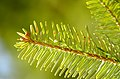 Abies alba foliage backlit.jpg