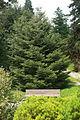 Abies holophylla Munich Botanical Garden.jpg