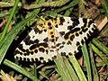 Abraxas grossulariata (Geometridae sp.), Elst (Gld), the Netherlands.jpg