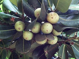 <i>Mimusops</i> genus of plants