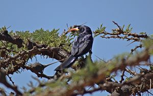 Abyssinian scimitarbill - Adult bird in Laikipia, Kenya